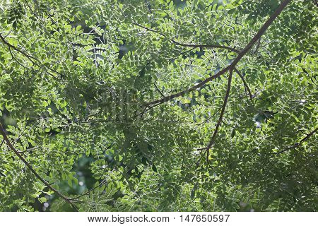 Green leaves and branches of a tropical tree for the design nature background.