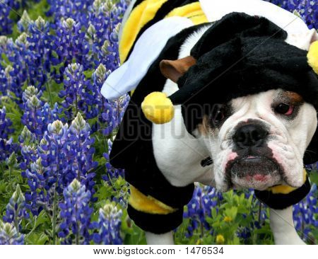 Bulldog Bumble Bee In The Texas Bluebonnets