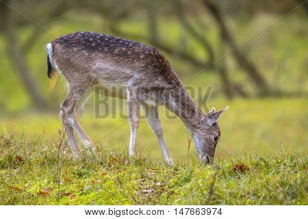 Female Fallow Deer In Autumn Colors