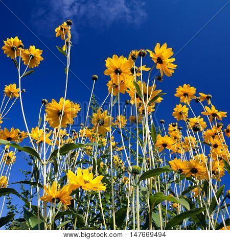 yellow Rudbeckia, cut-leaved coneflower, Flowers in Front of blue sky