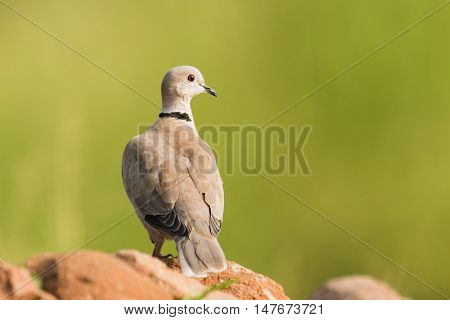 Eurasian Collared Dove perched in isolated background