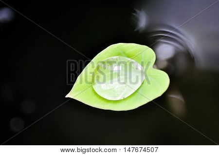 dew drop on caladium leaf or elephant ear