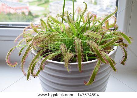 Drosera capensis a wild carnivore as a houseplant
