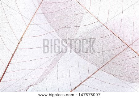 The Skeleton leafs background on close up