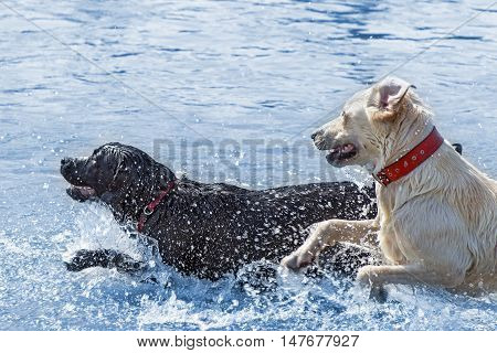 Labrador dogs enjoying water - jumping and running