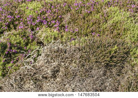 colorful heath vegetation around Pointe du Van a promontory in Brittany France