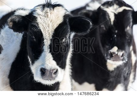 A pair of holstein calves looking with interest.