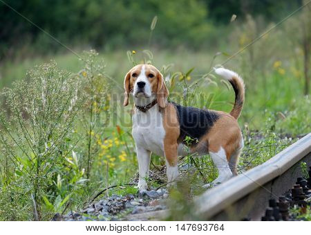 dog Beagle on a walk, gazing into the distance