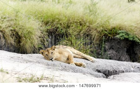 Lovely lioness resting on the warm stone in the savannah at a park Tarangire, Tanzania