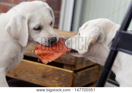 two cute little labrador retriever dog puppies play, eat and cuddle together