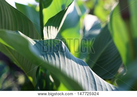 Large green leaves. Canna. Green garden plants.