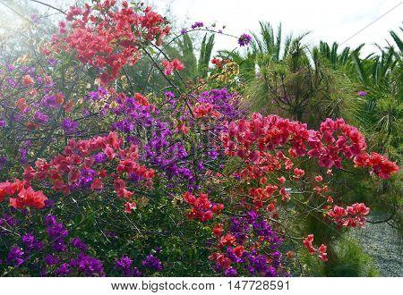 Bougainvillea flowers growing in tropical garden on Tenerife,Canary Islands.