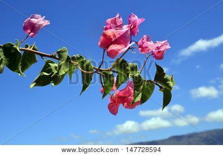 Bougainvillea flowers on a blue sky background.