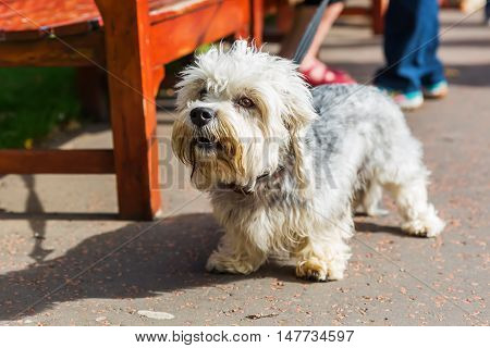 portrait of a Dandie Dinmont Terrier at the leash poster