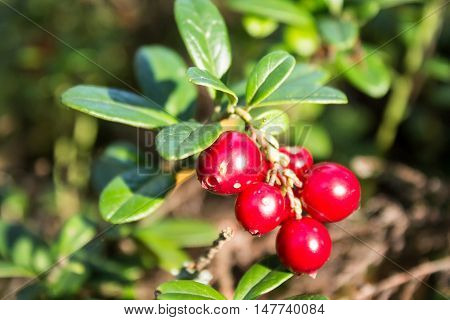 Closeup of red lingonberries in forest. Shallow depth of field. Cowberries Vaccinium vitis-idaea .