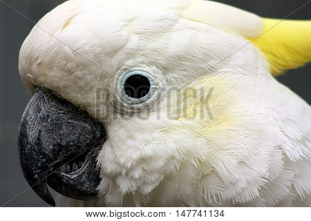 Close up portrait of white cockatoo bird with yellow cheeks and crest on dark gray background.