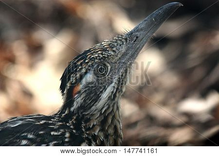 Portrait of the Greater roadrunner bird and bokeh.