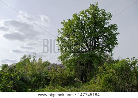 Tree in wild overgrown with flowering lilacs and other plants