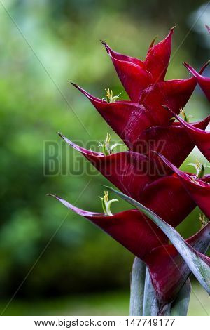 Parrot Flower - Heliconia