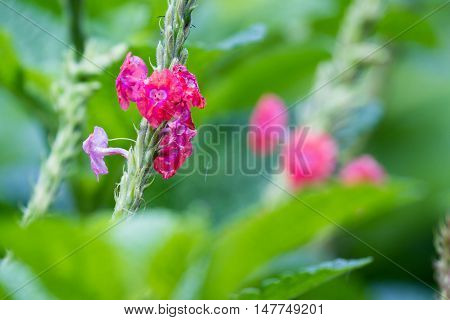 Stachytarpheta Mutabilis Or Pink Porterweed