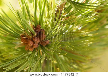 Male cones on a lodgepole pine in the mountains during late summer.