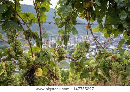 white Wine grapes in the german Region Moselle River Winningen 16