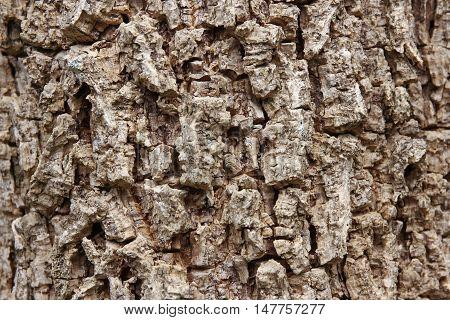 Cluse up of Indian cork tree (Millingtonia hortensis Linn.f) flowers.