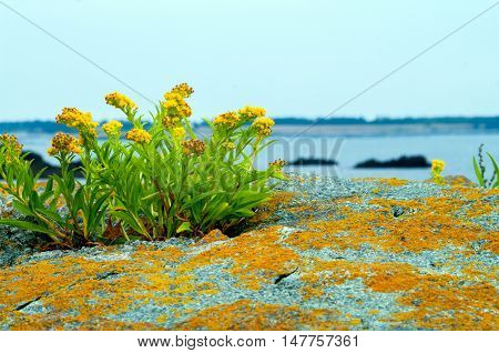 Flowers on a Rock along a cove on the Bay of Fundy New Brunswick