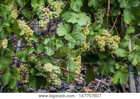 white Wine grapes in the german Region Moselle River Winningen