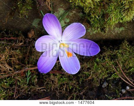 Purple Crocus Blossom