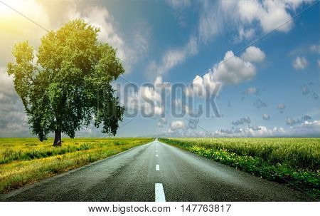 Beautiful, big, green tree stands in a field with wheat on the sidelines of an asphalt road