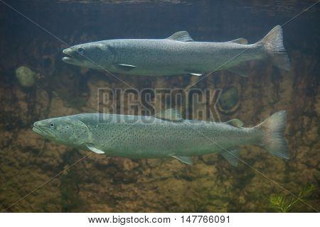 Huchen (Hucho hucho), also known as the Danube salmon. Wildlife animal.