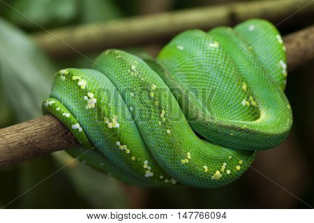 Green tree python (Morelia viridis). Wildlife animal.