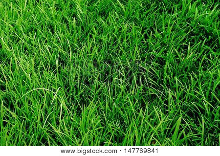 high angle view of real green grass background