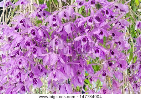 purple dendrobium orchid flowers bloosom as background