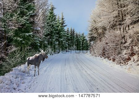 In the snow-covered coniferous wood a road for a skiing run. Christmas forest in the snow. Magnificent Moose went for walk