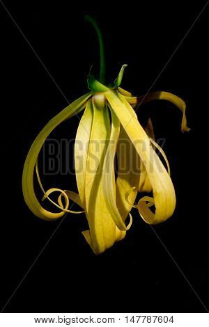 Kananga Or Ylang Ylang Flower Isolated On Black