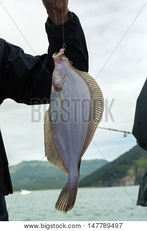 Halibut on the hook. Bottom sea fishing in the Pacific near Kamchatka.