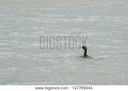 Pelagic cormorant floating in the Pacific Ocean.