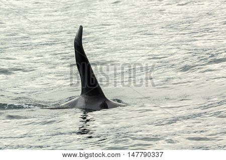 Killer Whale - Orcinus Orca in the Pacific Ocean. Water area near Kamchatka Peninsula.
