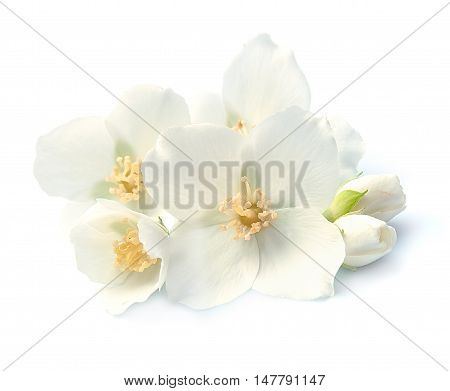 Jasmin white flowers closeup on white background