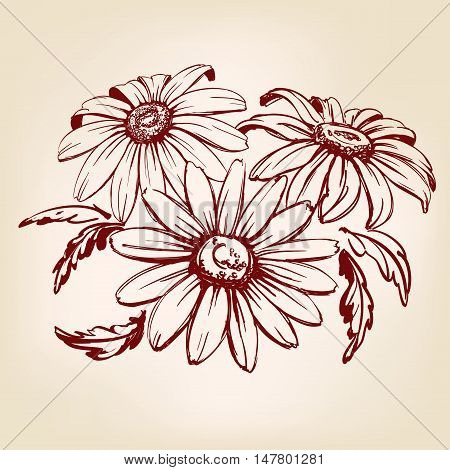 daisy hand drawn vector llustration realistic sketch