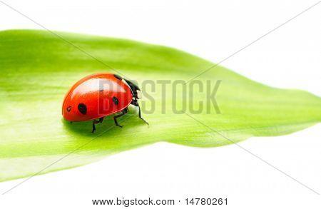 Ladybug on a leaf over white poster