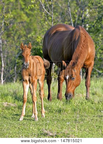 Sorrel Quarter horse Mare and Foal together in meadow