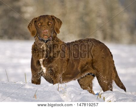 Chesapeake Bay Retriever standing in meadow in winter