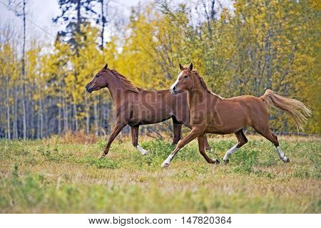 Two Arabian Horses running together on meadow