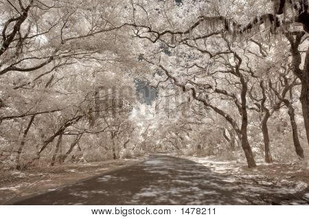 Infrared Oak Trees With Spanish Moss On Amelia Island, Florida