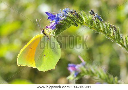 Cleopatra butterfly feeding on flower