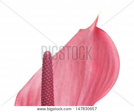 Pink Anthurium Isolated