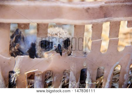 close up young falcon bird in basket